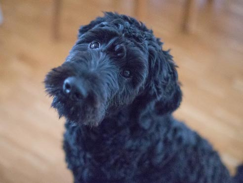 Perruqueria i estètica canina
