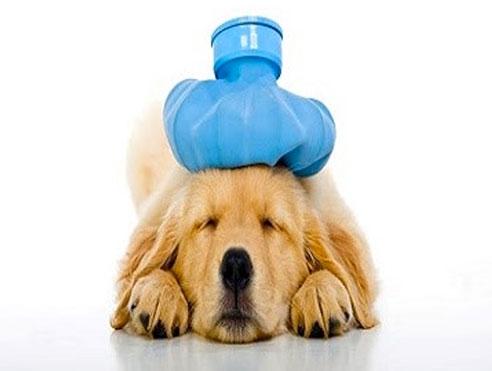 Introducció a la fisioteràpia i rehabilitació d'animals de companyia